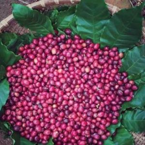 escovina-coffee-robusta-nong-truong-01_1